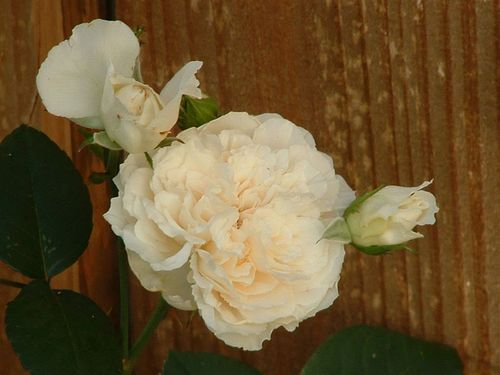 Sombrueil - An Old Garden Rose!