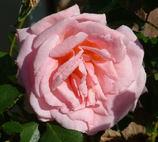 A Rose by Any Other Name!