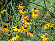 Blackeyed_susan23